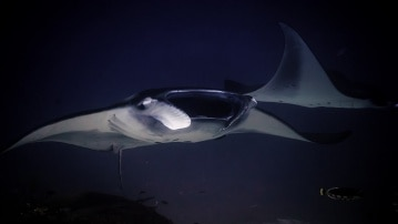 manta rays, popular snorkeling attraction in manta point komodo